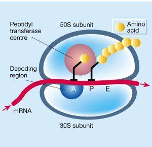 onderbouwd-inzetten-van-antibiotica-figuur-7-eiwitsyntheseremmers