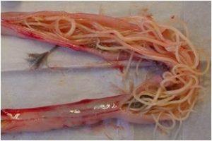 worminfecties-en-de-behandeling-hiervan-bij-pluimvee-wormen-in-maagdarmkanaal