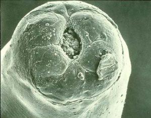 worminfecties-en-de-behandeling-hiervan-bij-rundvee-dictyocaulus